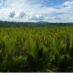 The Mangrove Species Composition and Forest Structure Between Managed and Unmanaged Nipa Palm at Abatan River